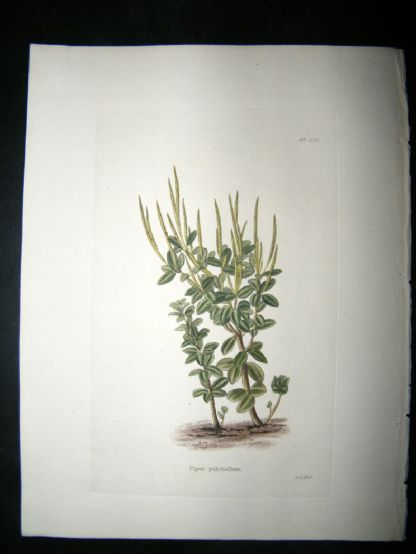 Loddiges 1820's Hand Col Botanical. Piper Pulchellum 574 West Indies | Albion Prints
